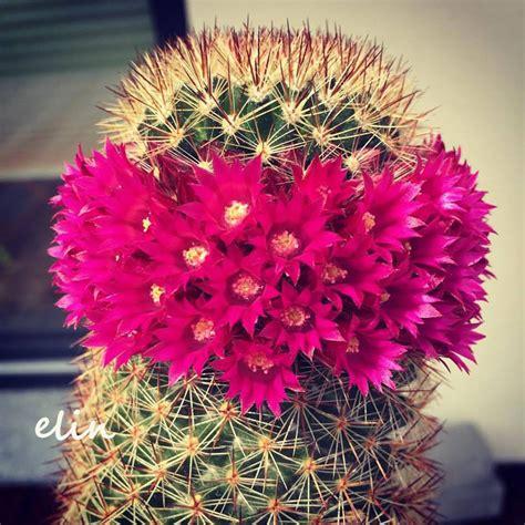 Bloggang.com : elin - แคคตัส (แมมฯ) กับดอกสีชมพูบานรอบต้น