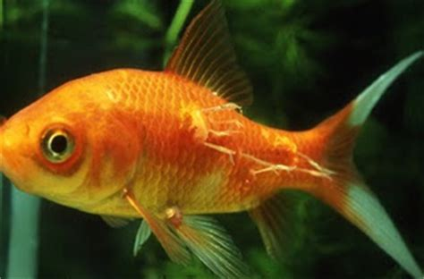 manage  freshwater aquarium tropical fishes