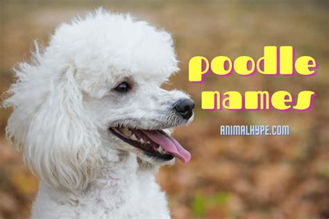 347 Cute And Funny Poodle Names Animal Hype