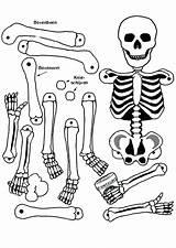 Skeleton Coloring Anatomy Human Pages Bones Bone Axial Skeletons Drawing Getcolorings Printable Getdrawings Sheet Anatomical sketch template