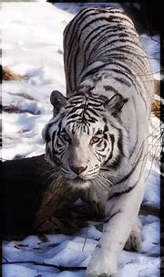 Fresh Pictures Of White Siberian Tigers   White tiger ...