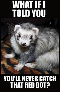 35 best images about Ferrets on Pinterest