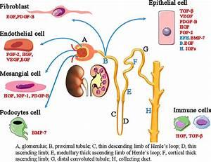 Renal Regeneration After Acute Kidney Injury