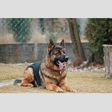 German Shepherd Face Profile | 3000 x 2000 jpeg 1176kB