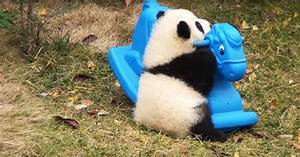 Fluffy Baby Panda Tests Out His New Toy, But Look Very ...