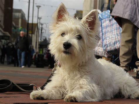 Poppy Westie Puppy  Week Residential Dog Training At Adolescent Dogs You