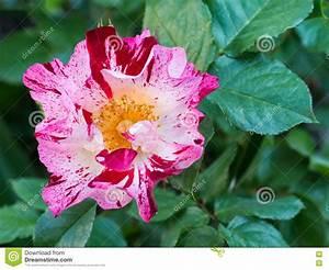 Fleur Rose Et Blanche : ray s 39 est lev e la fleur blanche et rose rouge dans le jardin photo stock image 71223958 ~ Dallasstarsshop.com Idées de Décoration