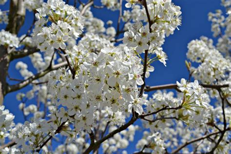 early blooming white flower tree trees shrubs that bloom in early spring