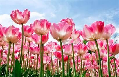 Flower Wallpapers Desktop Tablet Mobile