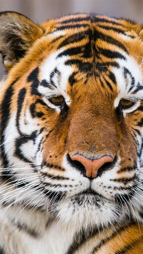 wallpaper tiger face wild tiger closeup hd animals