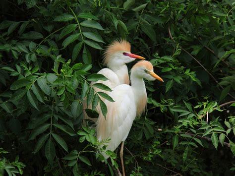 cattle egrets scientific  bubulcus ibispretty pair