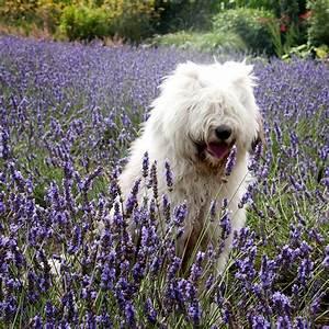 Wann Wird Lavendel Geschnitten : die besten 25 wachsender lavendel ideen auf pinterest ~ Lizthompson.info Haus und Dekorationen