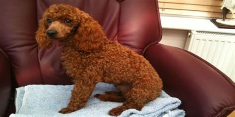What Are Some Popular Names For Female Poodles