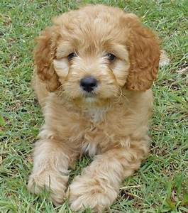 Cocker spaniel poodle mix! | Animals♥ | Pinterest