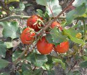 Tomaten Balkon Kübel : nutzpflanzen auf dem balkon ~ Yasmunasinghe.com Haus und Dekorationen