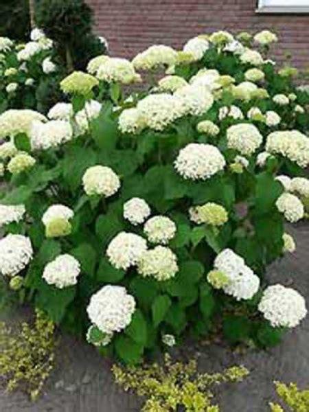 Strong Annabelle Erfahrungen by Hydrangea Arborescens Annabelle Schneeball Hortensie