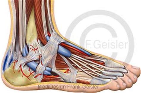 am fußgelenk bewegungsapparat mensch fu 223 skelett fu 223 sprunggelenk articulatio talocruralis mit fehlstellung