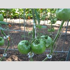 250 Tomato Support J Hooks Trellis Garden Vegetable Hook