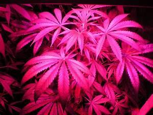 File:Indoor hybrid medical cannabis Gro5.jpg - Wikimedia ...