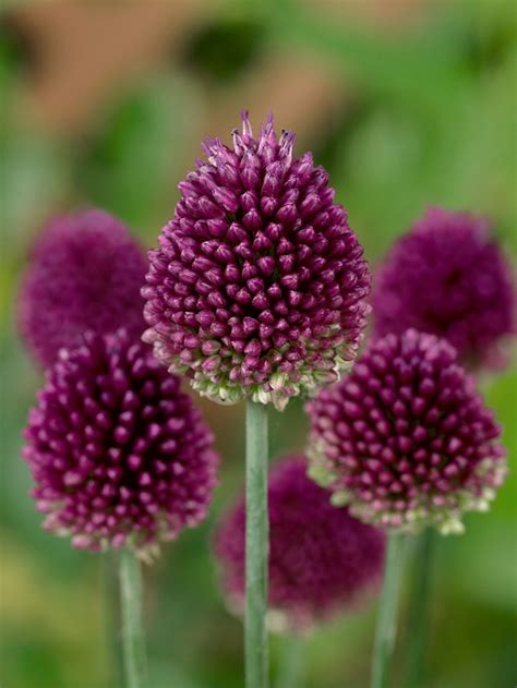allium colors top 10 gorgeous flowers that attract butterflies top inspired