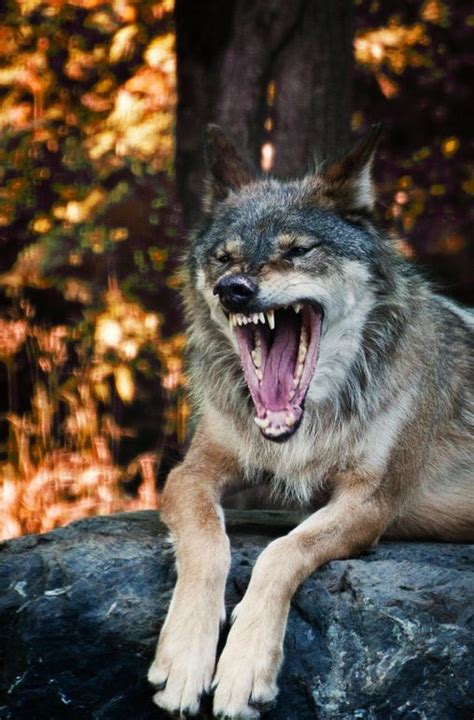 Angry Lone Wolf Wallpaper by The 25 Best Angry Wolf Ideas On Wolves Wolf