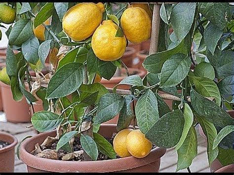 planter citronnier en pot 25 best ideas about citronnier on bouture citronnier citronnier vert and planter
