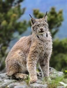 Summer Canadian Lynx