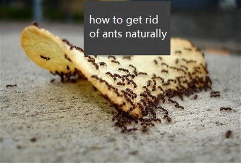 get rid of ants in house how to get rid of ants in your house