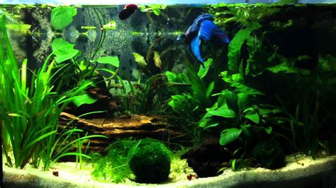 betta splendens caridina multidentata 25 litres 7