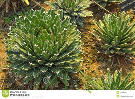 Cactus In Thailand Stock Photo - Image: 55581094