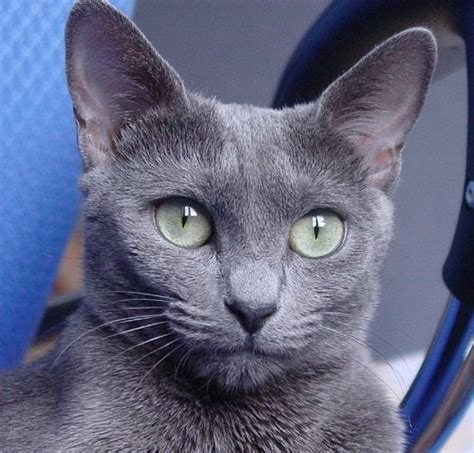 Blue Cats - 5 things you didn t about the russian blue