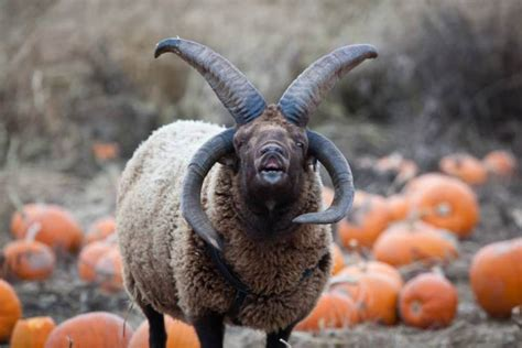 Zoo Calls For Exorcism Of Four Horned Aggresive Devil