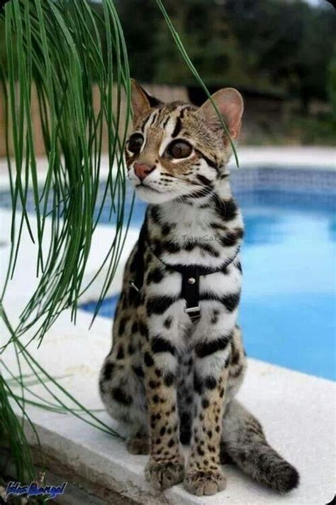 Asian Leopard Cat  Cat Breeds  Pinterest Beautiful