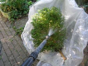 buchsbaumzuensler   bekaempfen sie ihn richtig
