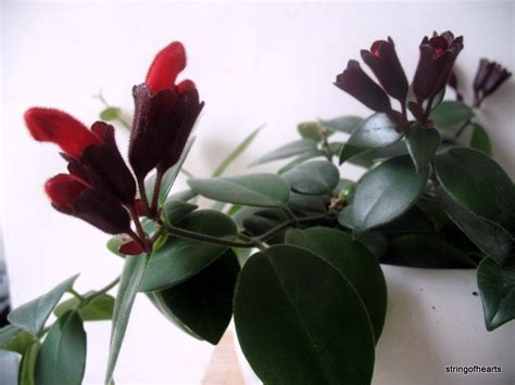 lipstick plant care indoors interior green plants that bloom indoors