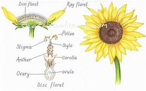 How Do Sunflowers Pollinate   With Illustrations