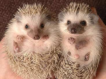 book review  hedgehog effect  manfred kets de vries
