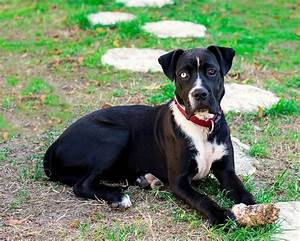 Pitbull Boxer Mix - 10 Important Facts About This Loyal ...