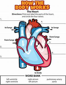 Graphic Organizer  Or Quiz  For The Circulatory System