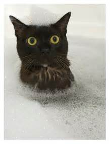 how to get a cat to take a pill cat takes a bath kittens and cat photos