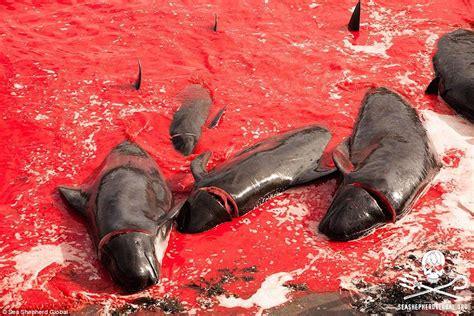 Faroe Islands Whale Massacre 2015 Photos