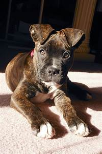 2 month old boxer/American bulldog mix. He's my baby ...