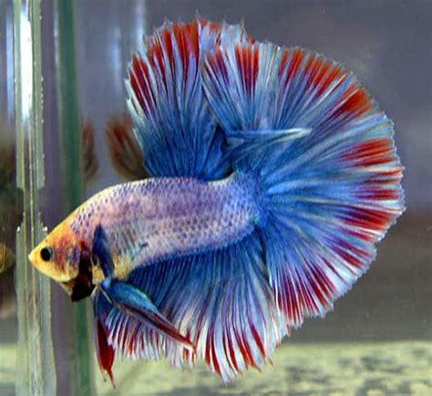 male  female betta fish hubpages