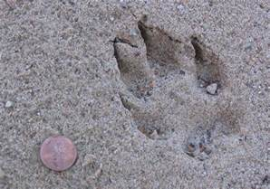 Coyote Tracks Footprints