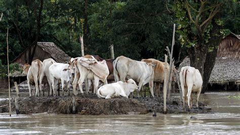 paws  food  flood affected farm animals