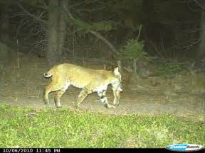 how do house cats live domestic cats and bobcats and pumas living in same