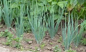 Salat Pflanzen Abstand : fr hlingszwiebel pflanzen pflegen ernten mein sch ner garten ~ Markanthonyermac.com Haus und Dekorationen