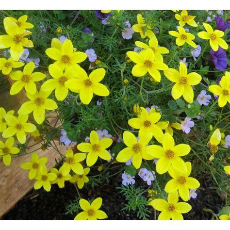 Bidens - Floare Galbena