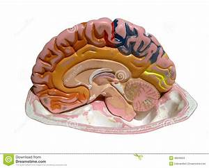 Model Of A Brain Stock Image  Image Of Teaching  Isolated