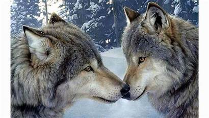 Wolf 4k Wallpapers Wolves Encounter Romance Romantic